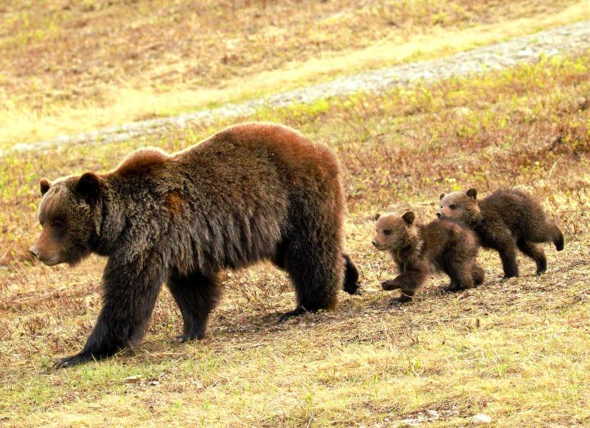 Firefly Holidays Jasper Bears 600h