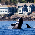 Firefly Holidays Vancouver Island Whales 1