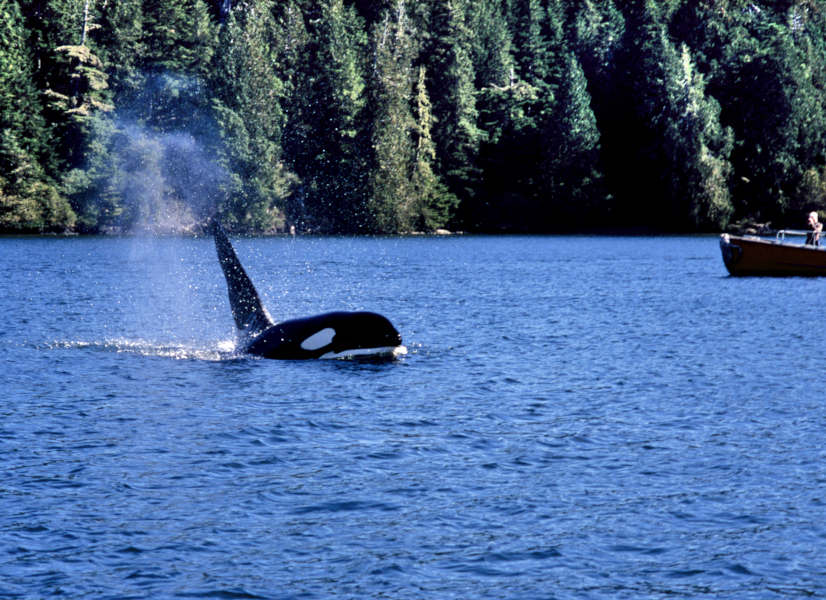 Firefly Holidays Vancouver Island Whales 2 600h