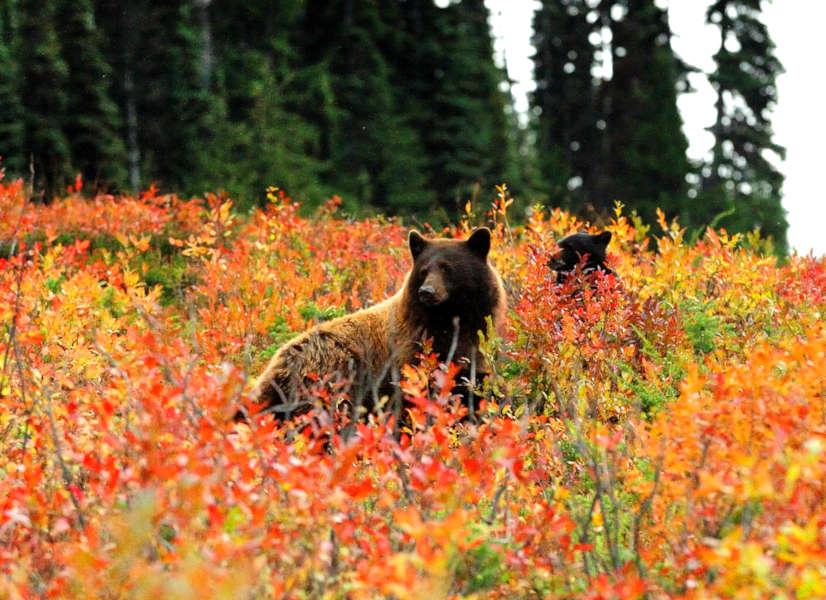 Firefly Holidays Whistler Bears 600h
