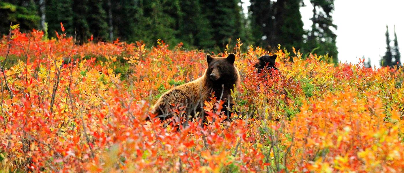 Firefly Holidays Whistler Bears