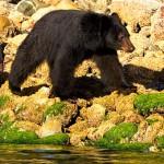Tofino Bears 1