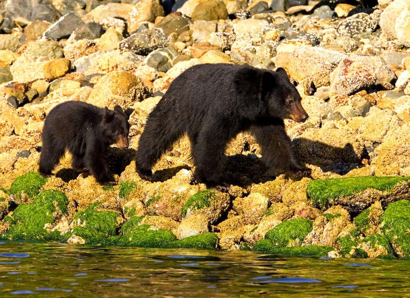 Tofino Bears 1 600h
