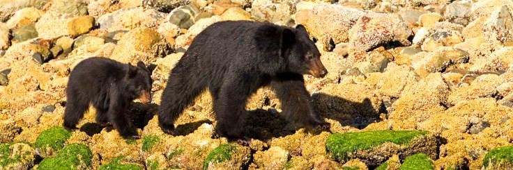 Tofino Bears 1 Wide