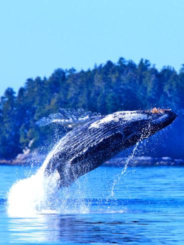 Tofino Whale 1 Tall
