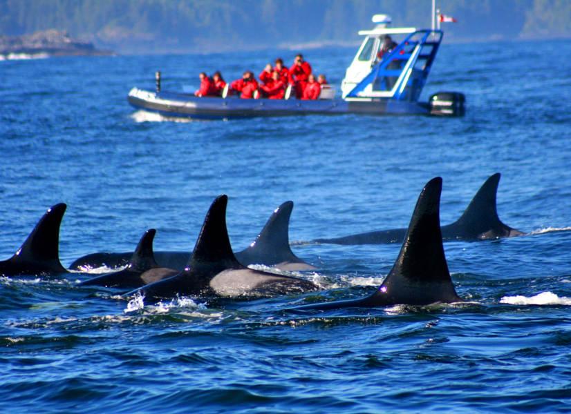 Tofino Whale 3 600h