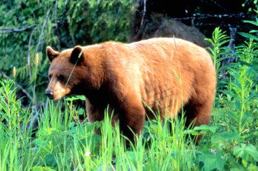 Whistler Bears Std