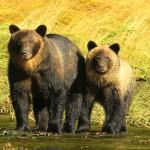 Firefly West Coast Bears