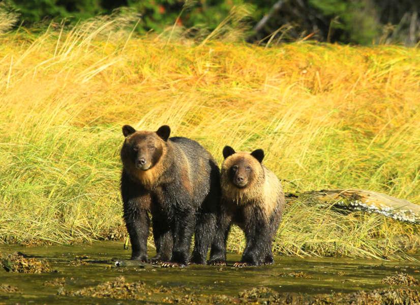 Firefly West Coast Bears 600h
